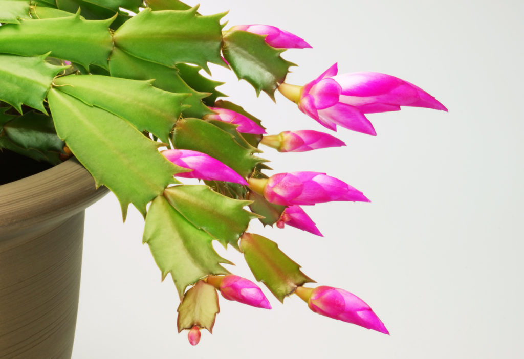 Christmas Cactus Indoor Plant Photo Credit: zennie (iStock).