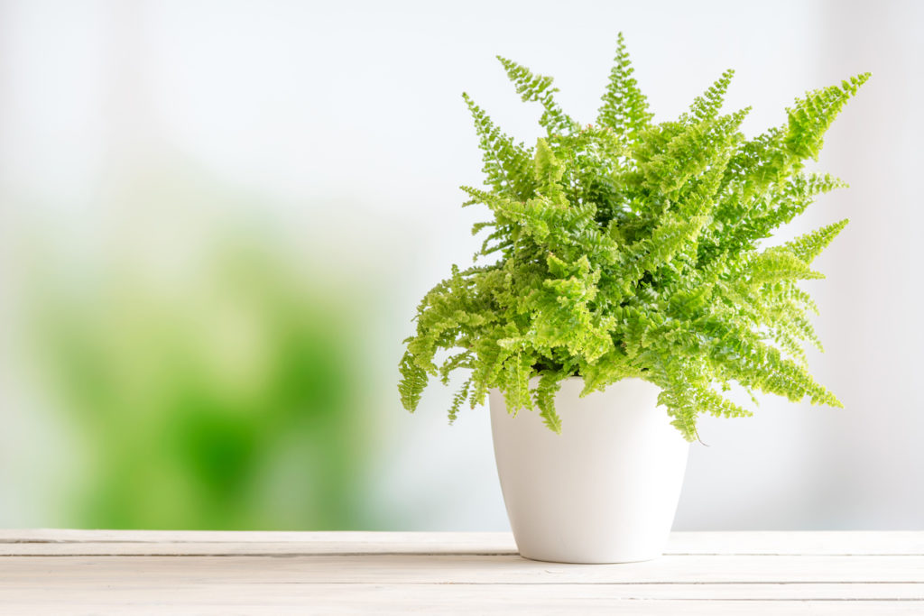 Fern Indoor Plant Photo Credit: Sportactive (iStock).