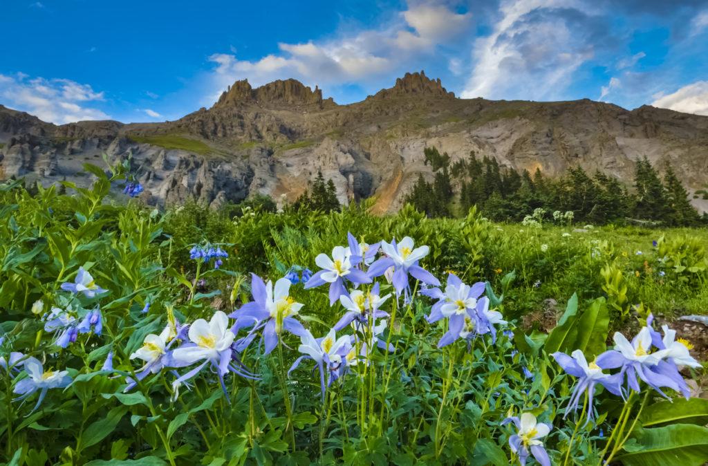Wild Colorado Columbine Colorado Photo Credit: EdwardSnow (iStock).