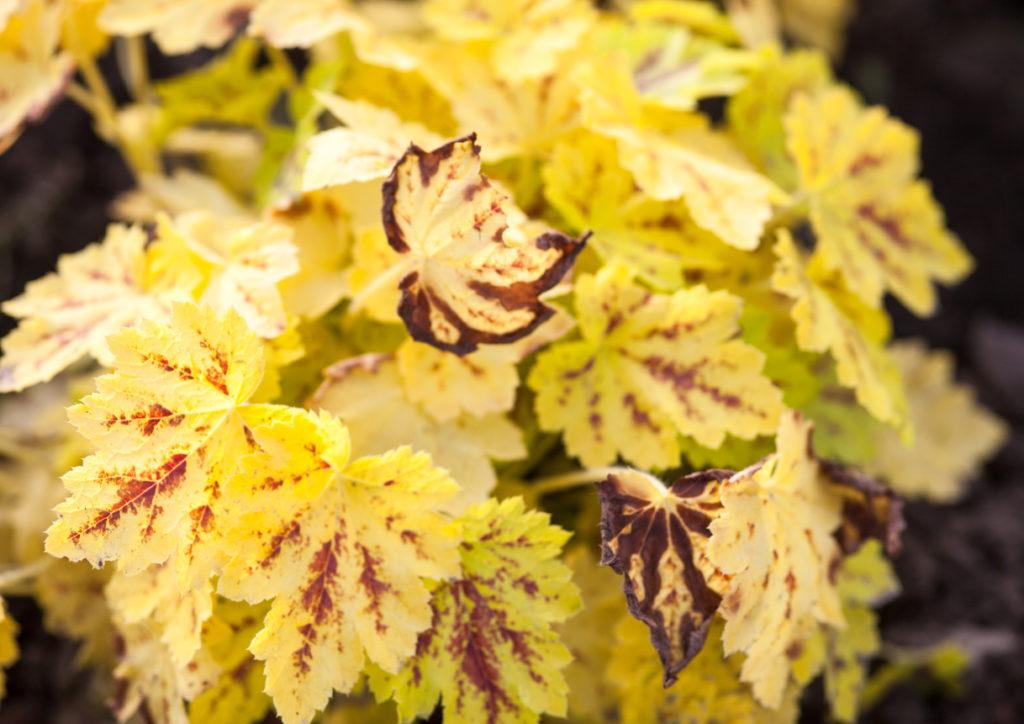 Yellow Leaves Photo Credit: rootstocks (iStock).