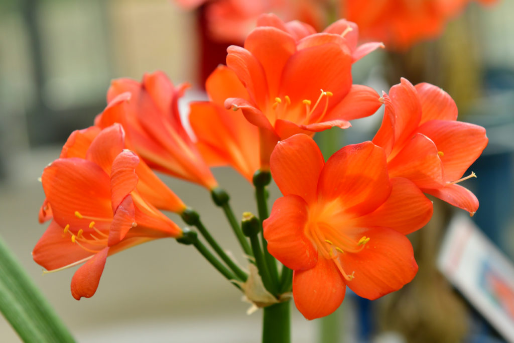 Clivia Indoor Plant Photo Credit: magicflute002 (iStock).