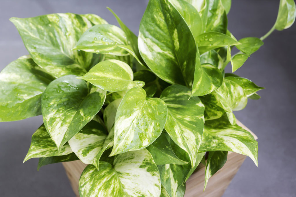 Pothos Indoor Plant Photo Credit: FeelPic (iStock).