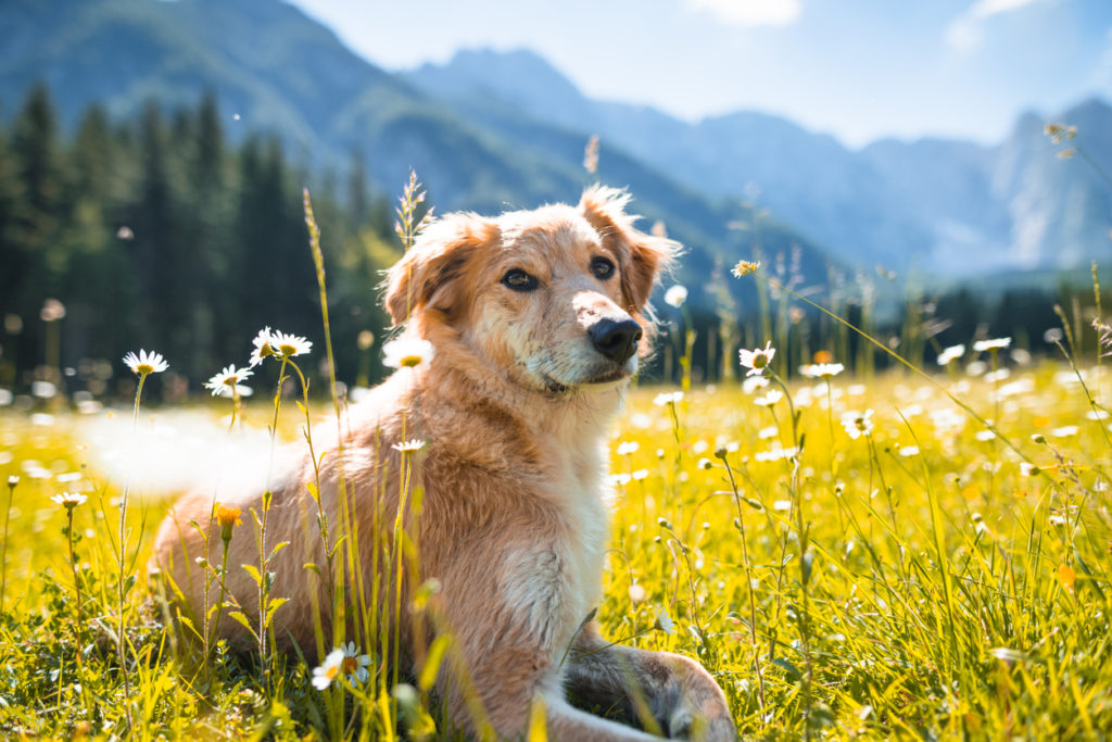 golden retriever Photo Credit: franckreporter (iStock).